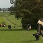 friesland koe