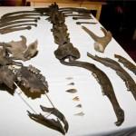 Resten (steentijd) edelhert gevonden bij Tungelsroysebeek