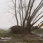 Monumentale wilg opnieuw verplaatst (Video)