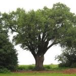 Gemeente: meebetalen voor onderhoud monumentale bomen