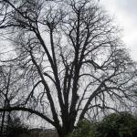 Assen op zoek naar monumentale bomen
