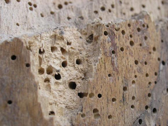 Aantasting door houtworm. Foto: Kai-Martin Knaak