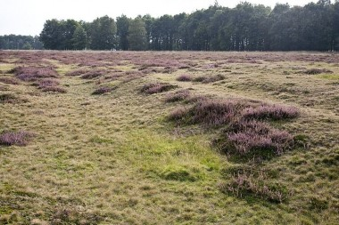 Oude karrensporen op het Ballooërveld, als oneffenheden zichtbaar in het heidegebied foto: RCE