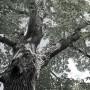 Landelijk Register van Monumentale Bomen vanaf 5 juni online