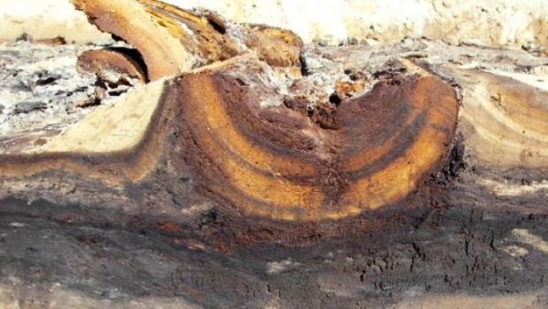 Liggende dennenstammen van 13.000 jaar uit. Foto: Rijksdienst voor het Cultureel Erfgoed