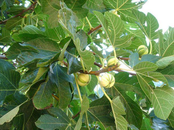 Referentiebeeld: vijgenboom