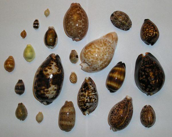 Kaurischelpjes
