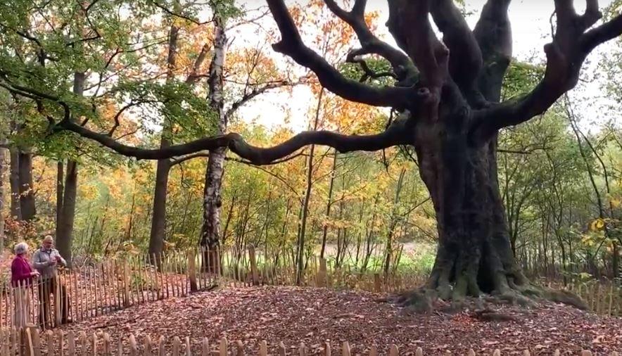 Heksenboom te Bladel vertegenwoordigt Nederland bij Europese Tree of the Year verkiezing
